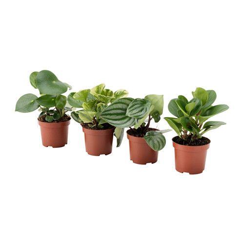 peperomia plante en pot diverses esp ces plante d corative le cache et ikea. Black Bedroom Furniture Sets. Home Design Ideas