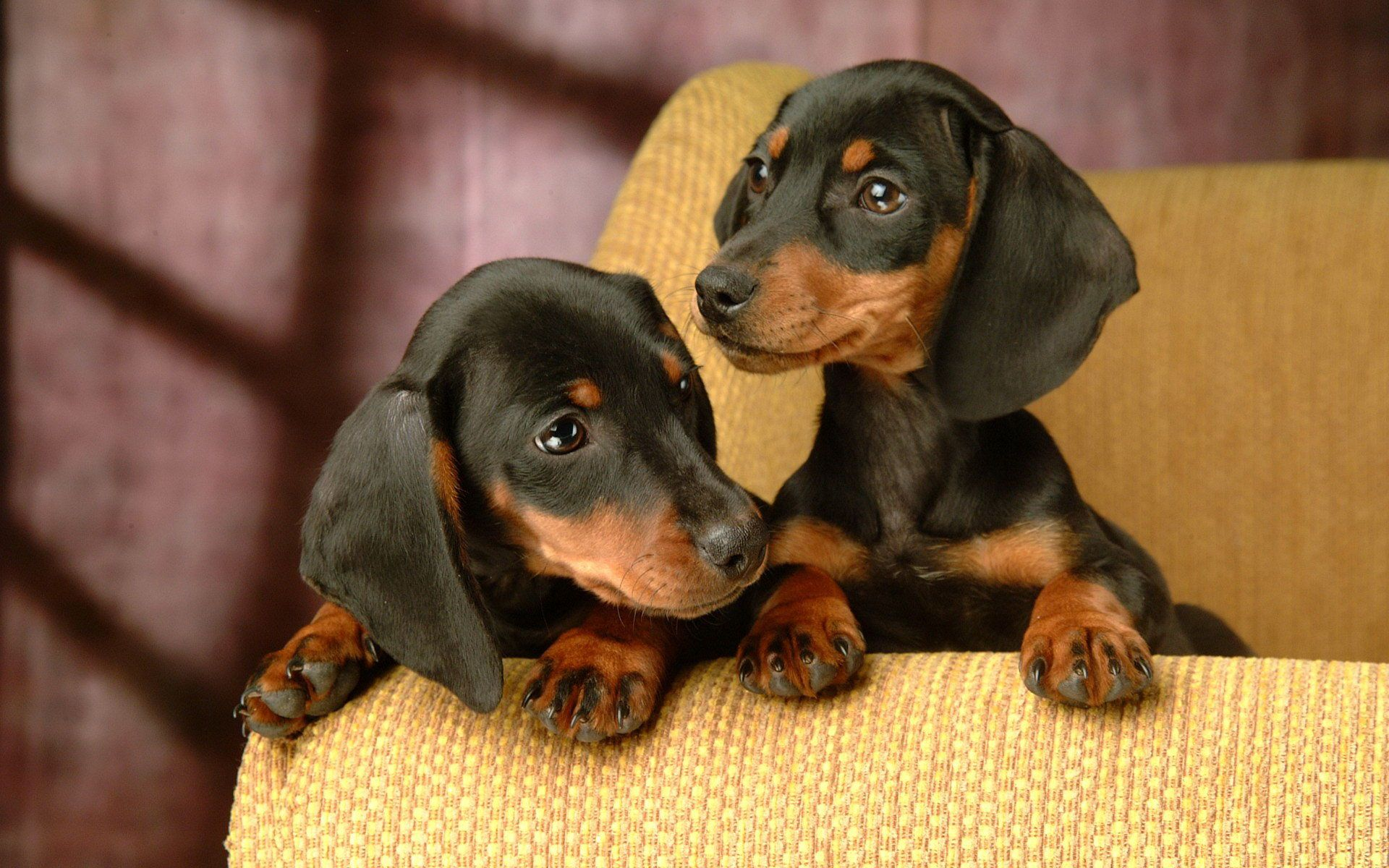 Dachshund Puppies HD Wallpaper Free Download | Projects to Try
