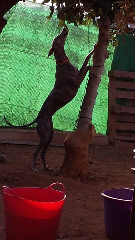 From Charlotte Del Rio, a perfect and English caregiver in Spain for the galgos.