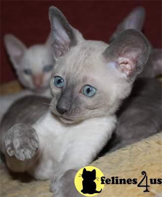 Cornish Rex Kittens Boys Cornish Rex Kittens For Sale Rex Cat Cornish Rex Cat Cornish Rex Kitten