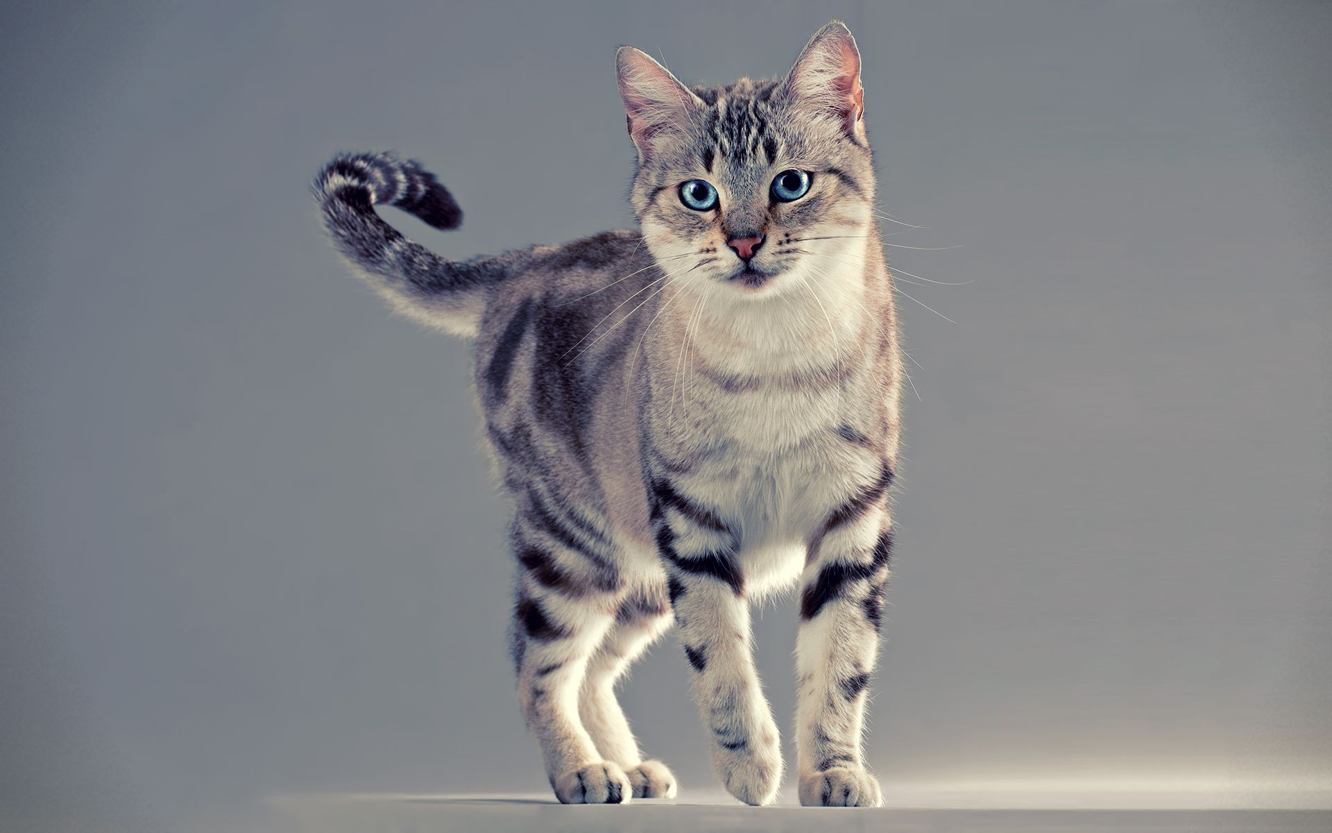 Pretty Cat Wallpapers Hd Free 19890 American Shorthair Cat Cat Breeds Pretty Cats