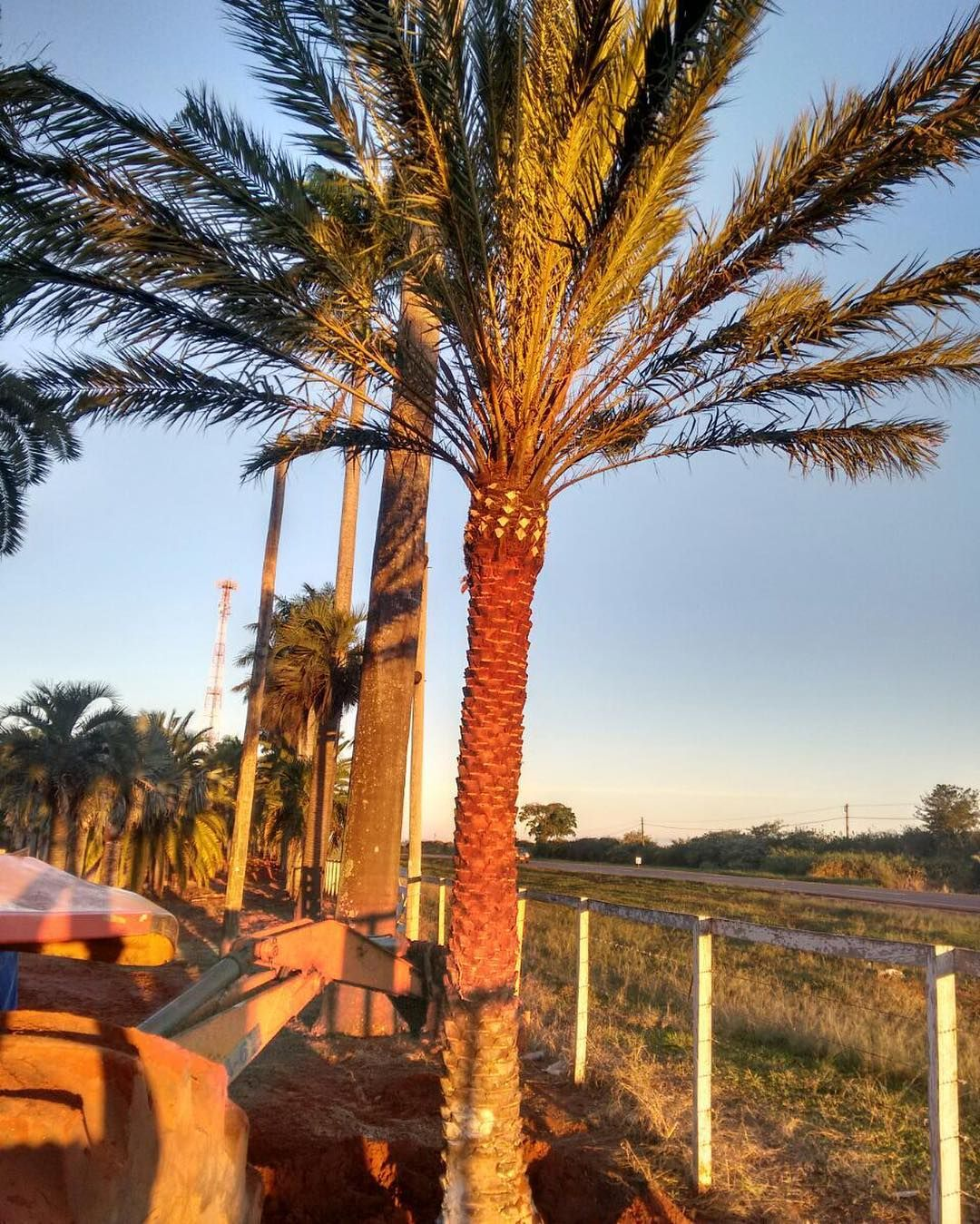 Bom dia!!! Hoje amanheceu assim... E as Dactyliferas ficam ainda mais bonitas!! | #palm | #plantas | #palmeira | #palmtree | #palmeiras | #paisagismo | #paisagista | #instagarden #landscape #gardens | #gopro | #landscapedesign | #gardendesign | #goiania | #goias | #gyn | #arquitetura | #urbanismo | #jardim | #tips | #jardinagem | #homedecor | #design | #green | #homedecor | #natureza | #jardins | #holambra | #palmtrees | #green | #nature | #portaldaspalmeiras…