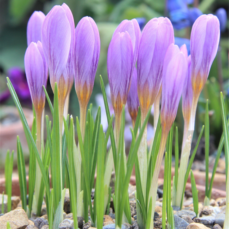 Crocus Estruscus Zwanenburg Easy To Grow Bulbs Spring Plants