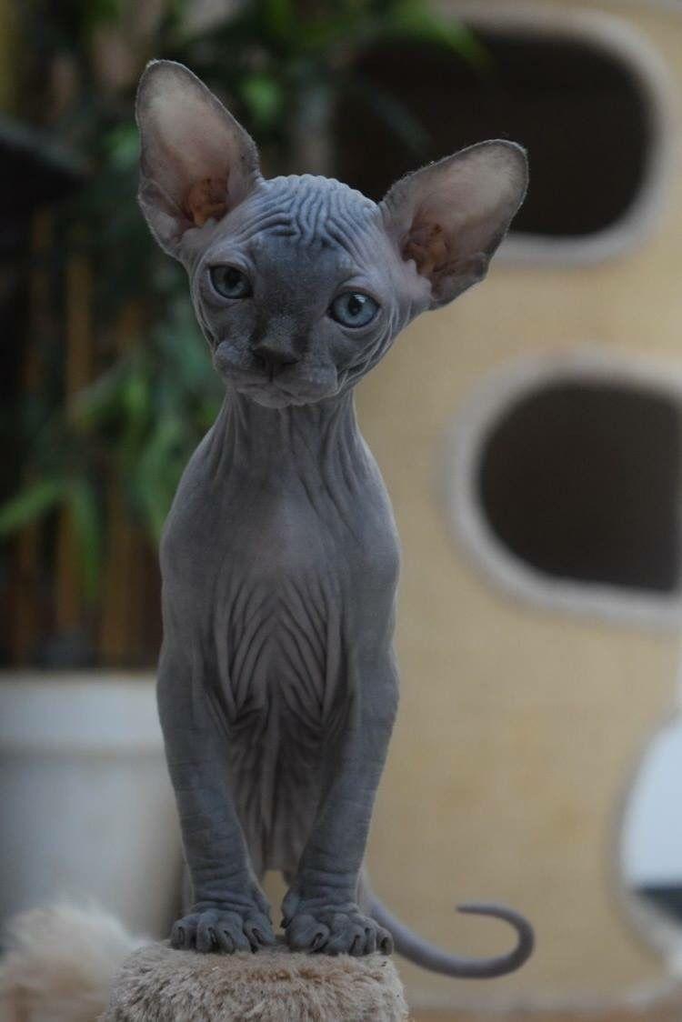V I O L E T T A O P H E L I A O Gato Sphynx Nao E Totalmente Sem Pelo Mas Tem Uma Cobertura De Pessego Gatinhos Fofos Gatos Bichinhos Fofos