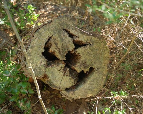 Face in a log