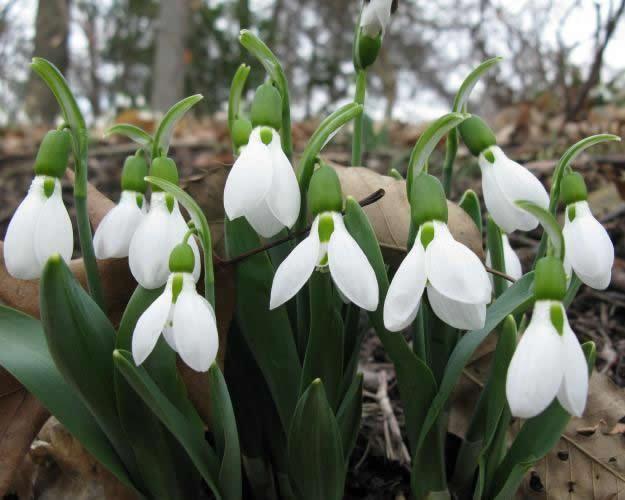 Galanthus Elwesii Garden Design Garden Bulbs Trees To Plant