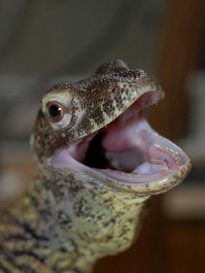 baby komodo - rinca island, indonesia | Cute reptiles ... |Cute Baby Komodo Dragons