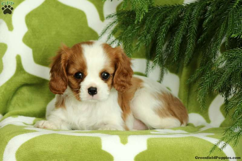 Lady Cavalier King Charles Spaniel Puppy For Sale In