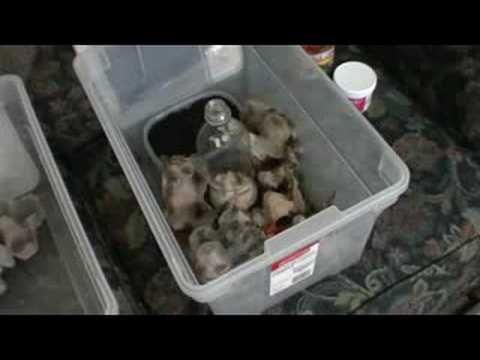 How To Breed Crickets Bearded Dragon Diet Reptile Food Food Animals