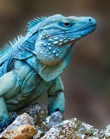 Endangered Blue Iguana Endemic To Grand Caiman Island