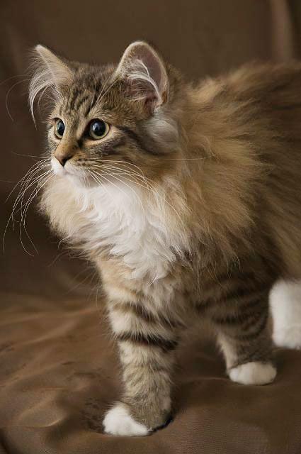 By Rukbat Cattery Norwegian Forest Cat Pretty Cats Beautiful Cats