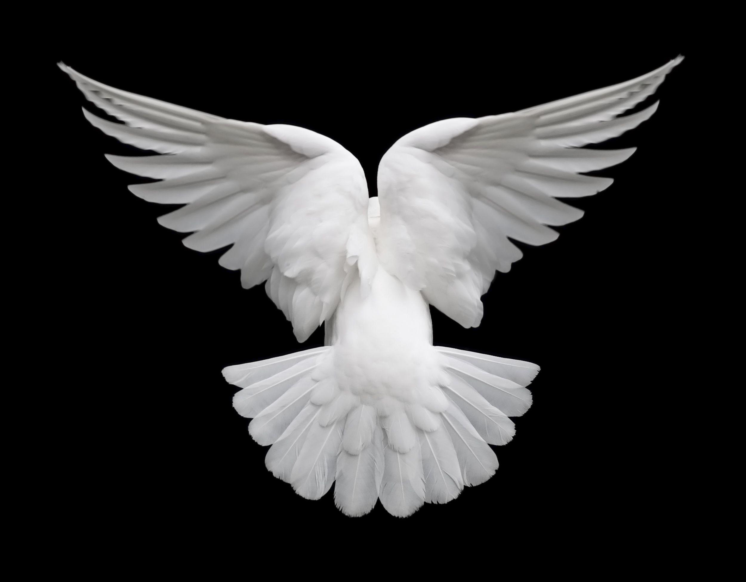 Картинки крыло голубь
