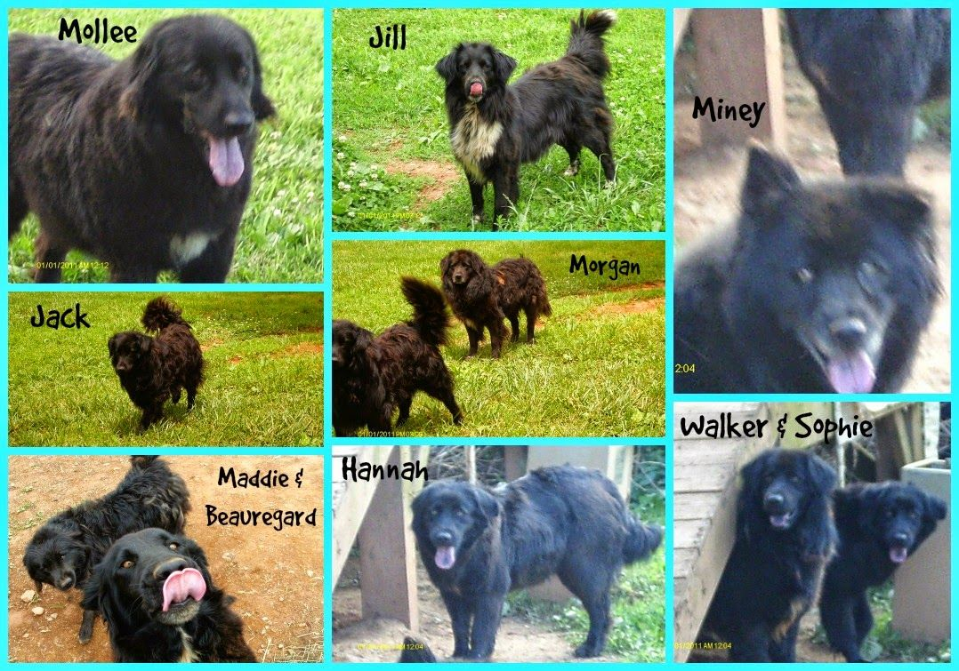 Nc To Fl Good News Jack Walker Have Rescue The Last 2 Black Fluffies From Cleveland Nc