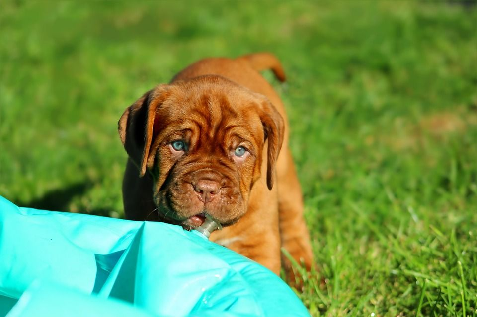 Free Image on Pixabay Puppy, Dogue De Bordeaux, Dog