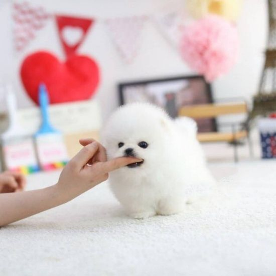 Top Quality Male and Female Teacup Pomeranian Puppies #yorkiemix #teacuppomeranianpuppy Top Quality Male and Female Teacup Pomeranian Puppies #yorkiemix #teacuppomeranianpuppy