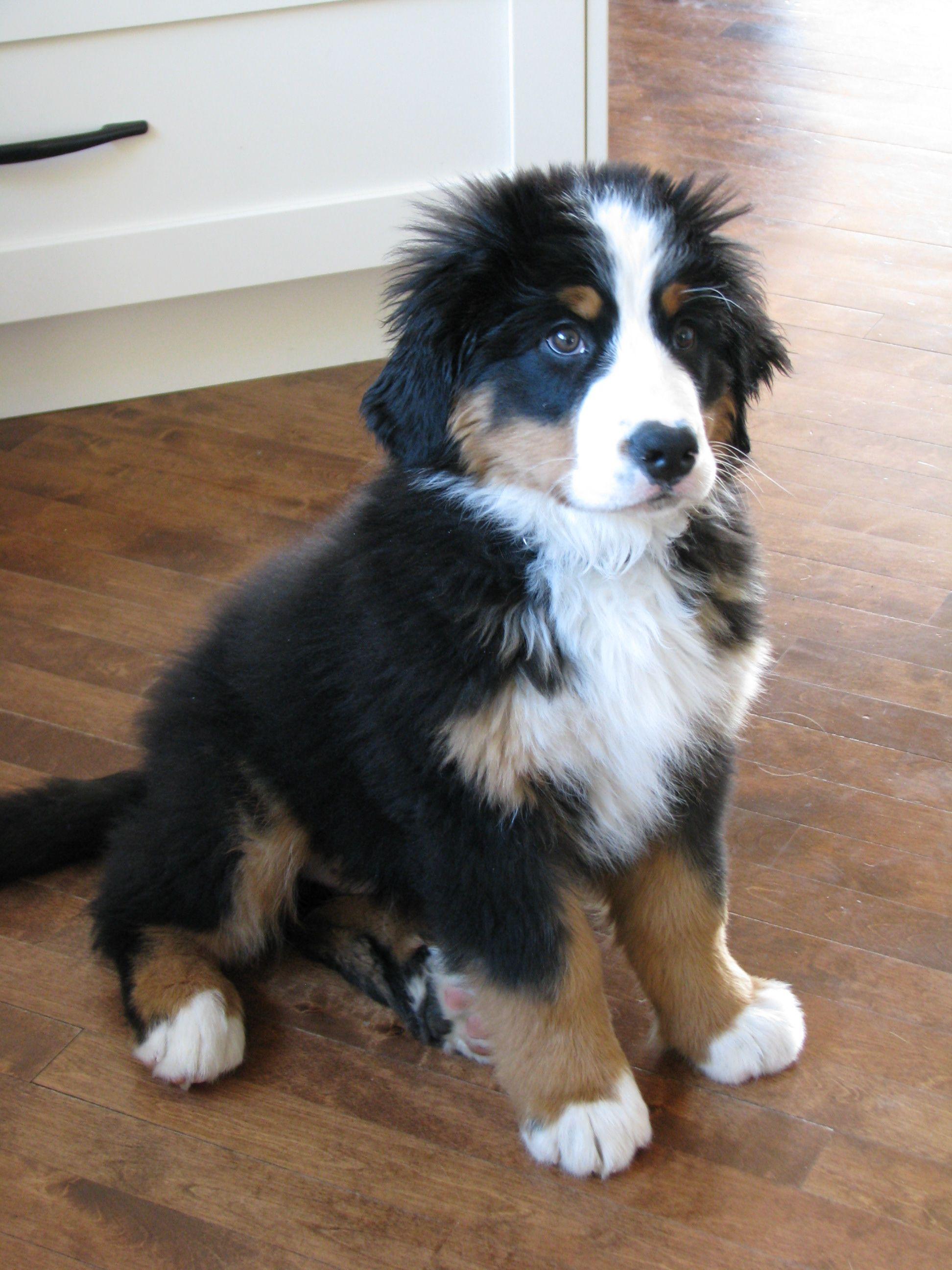 Takoda 12 Weeks Bernese Mountain Dog Puppy Bernese Mountain Dog Beautiful Dog Breeds