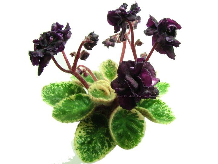 African Violet Dark Night Of The Soul New Listing Semidouble Black Ruffled Pansy Flower With Dark Co African Violets African Violets Plants Saintpaulia