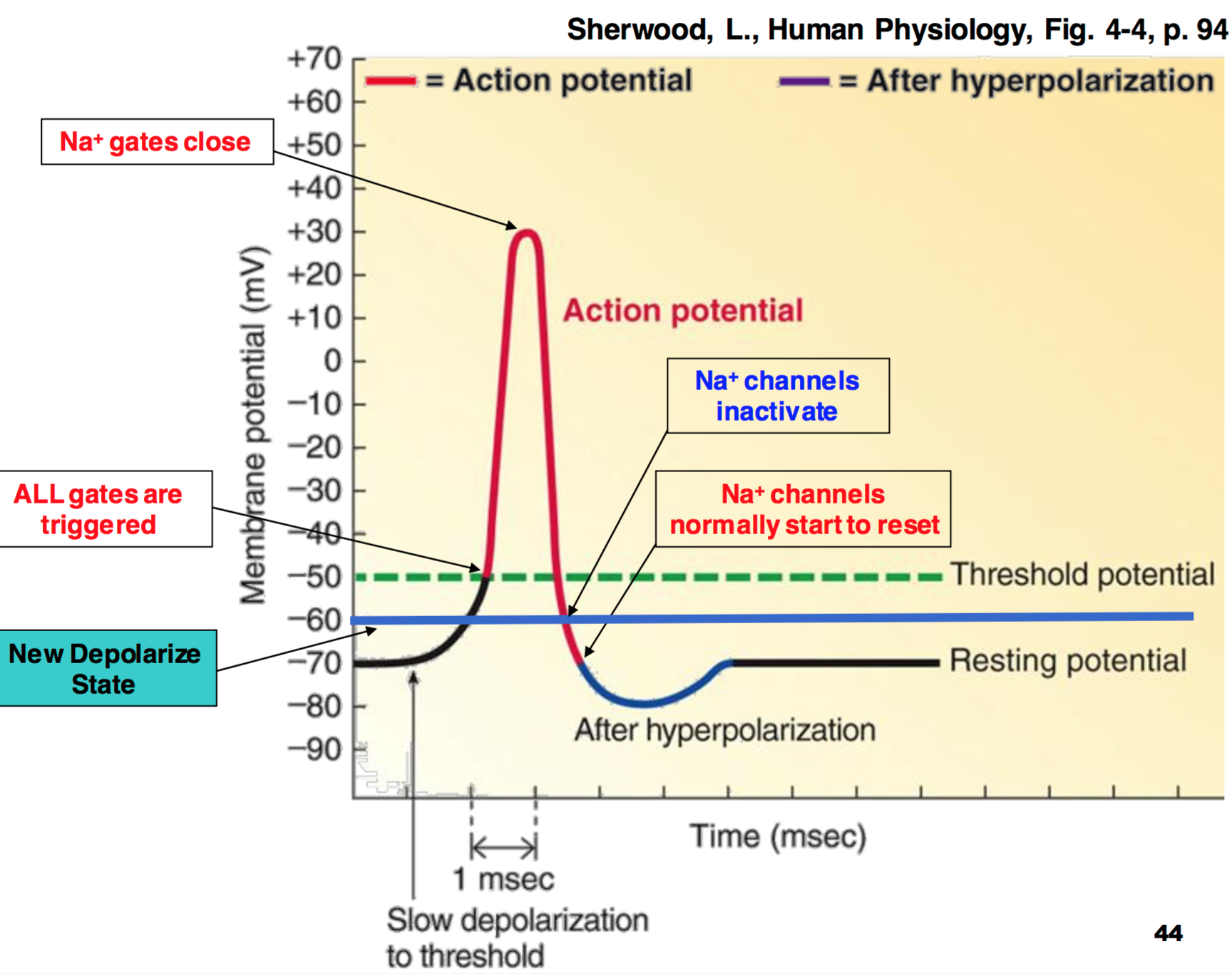 Image Result For Action Potential Graph With Images