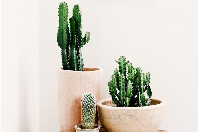 Comment Prendre Soin De Vos Cactus Cactus Entretien Cactus Interieur Cactus Arrosage