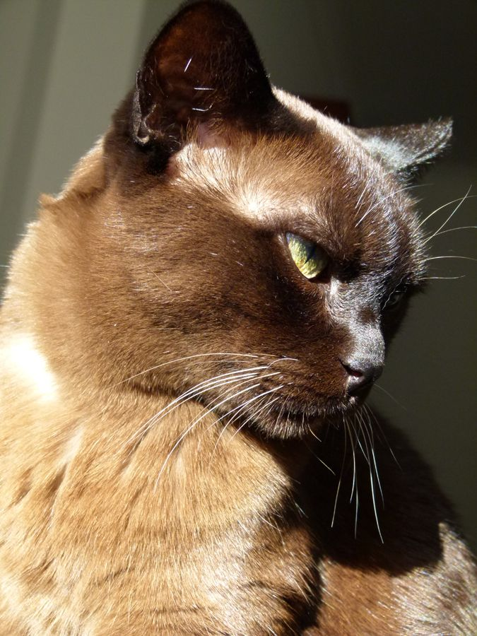 Meet Luce My 17 Year Old Burmese She Would Have Liked You You
