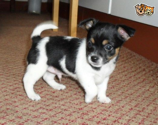 Chihuahua X Mini Jack Russell Pups Chihuahua Pup Mini Jack Russell