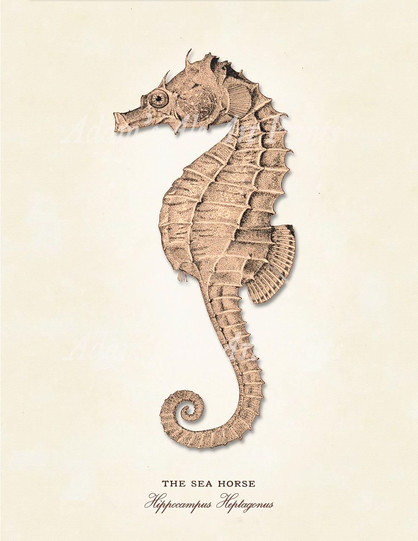 Vintage, Natural History, Sandy Seahorse/Sea Dragon From 1800s ...
