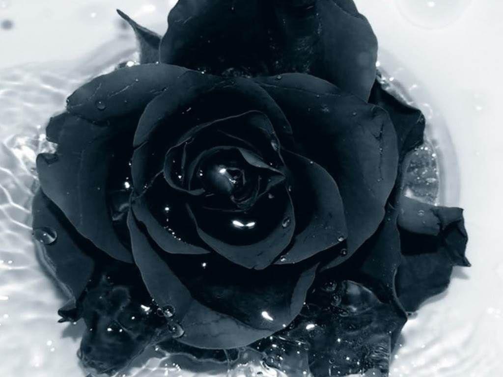 Black rose wallpapers hd black rose wallpapers download