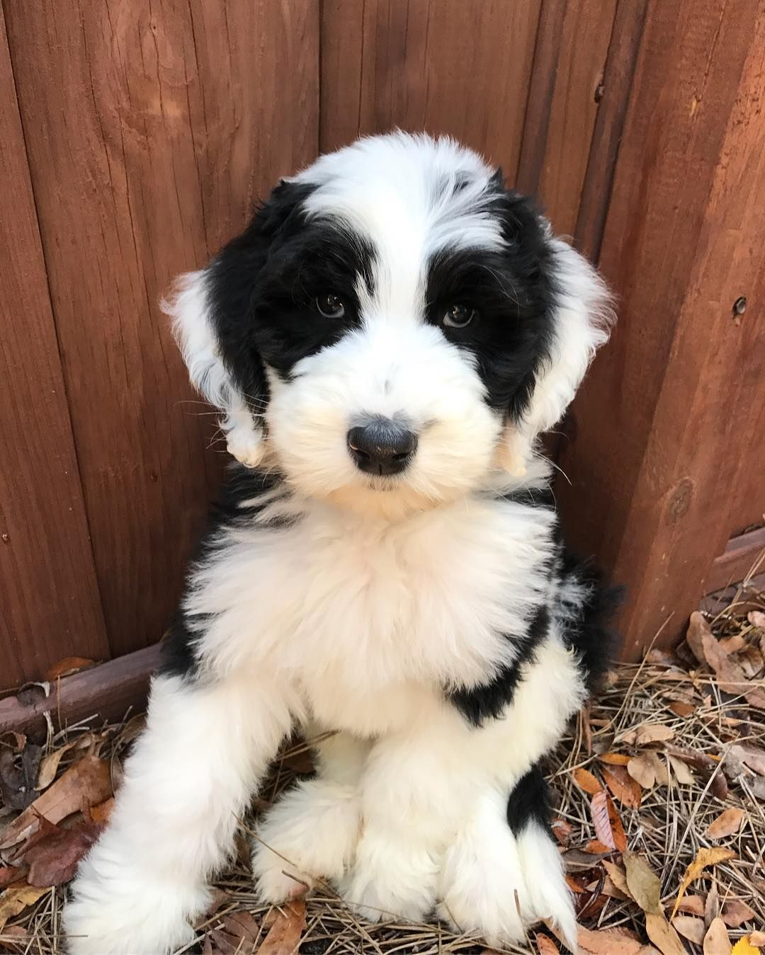 Walter The Sheepadoodle Sheepadoodle Oes Poodle Puppy