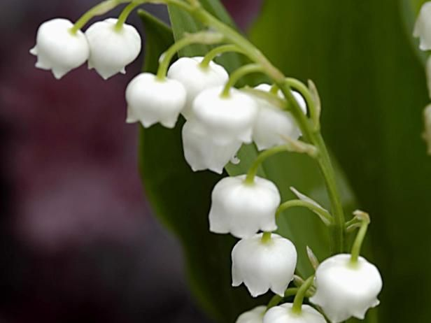 Lily Of The Valley Convallaria Majalis Shade Perennials Full Shade Flowers Shade Flowers