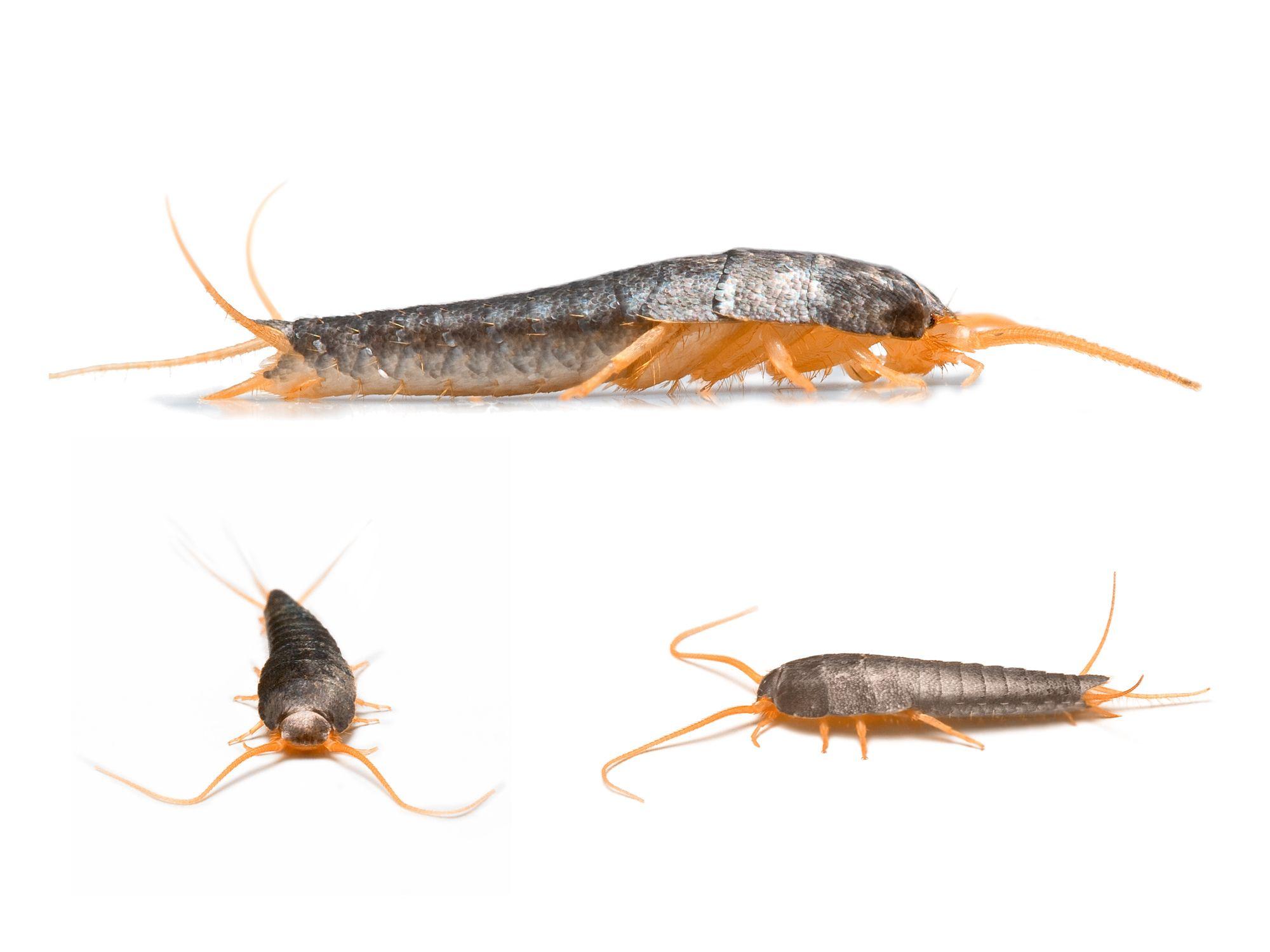 c5d0ba8f27e90e6c6473c7a8d1df8125 - How To Get Rid Of Silverfish In House Uk