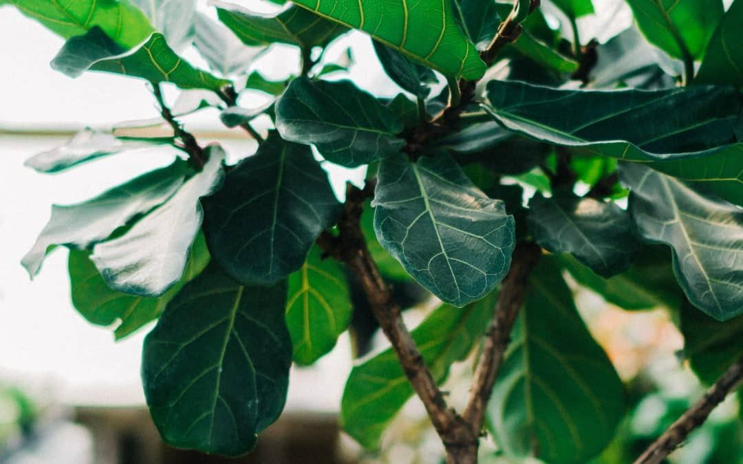 Care tips for the Fiddle Leaf Fig The complete growing