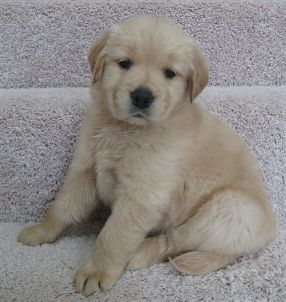 Texas Golden Retriever Breeder Puppies Available In Spring 2014