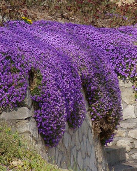 Periwinkle Acidic Soil Shade Dry Conditions Ground Cover