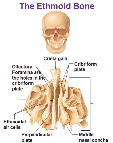Cribriform plate anatomy