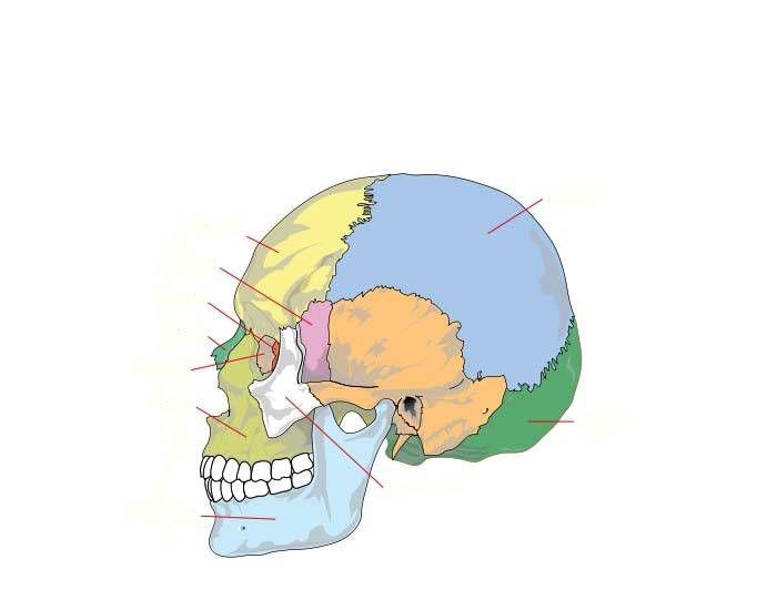 Skull bones (missing vomer, palatine bone; no markings)   Studying ...