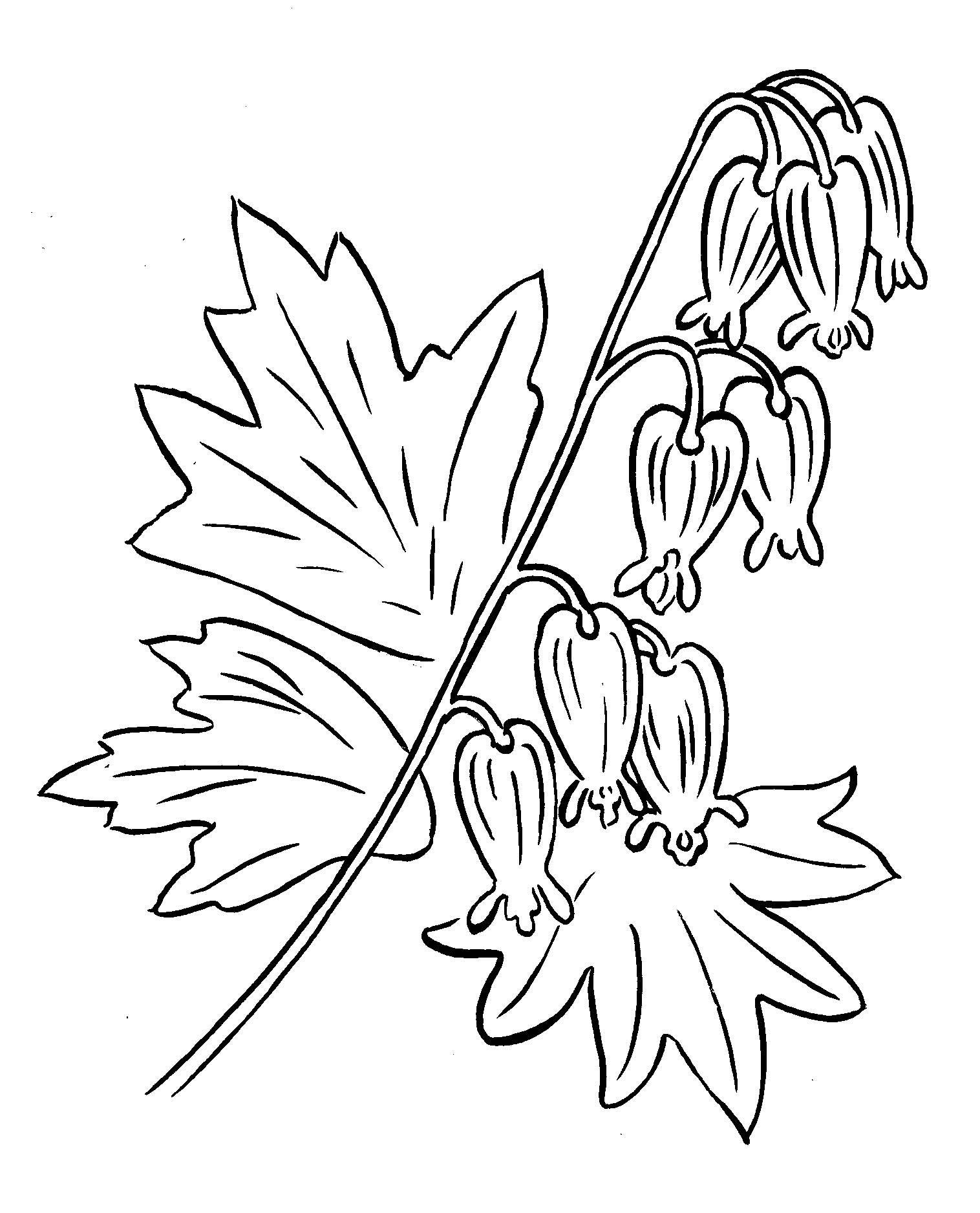 Bleeding Heart Plant Bleeding Heart Drawings Bleeding Heart Flower