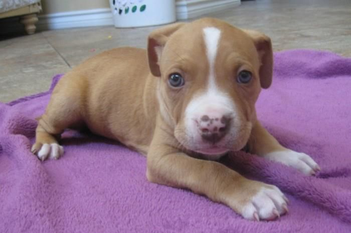 He Looks Like Riddick But With Blue Eyes Red Nose Pitbull