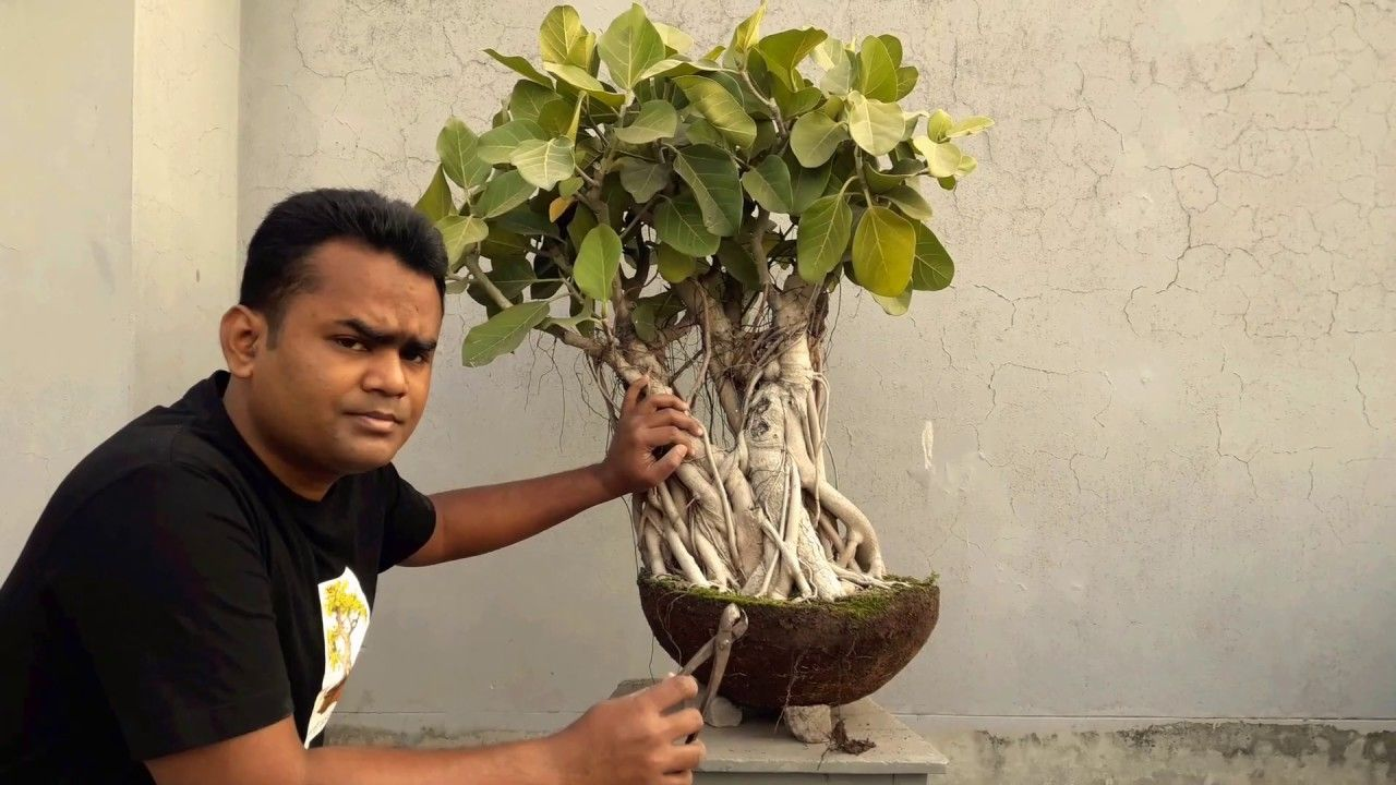 How To Transfer Big Tob To Bonsai Pot Ficus Banyan Bonsai For Beginner In 2020 Bonsai Care Bonsai Pots Ficus