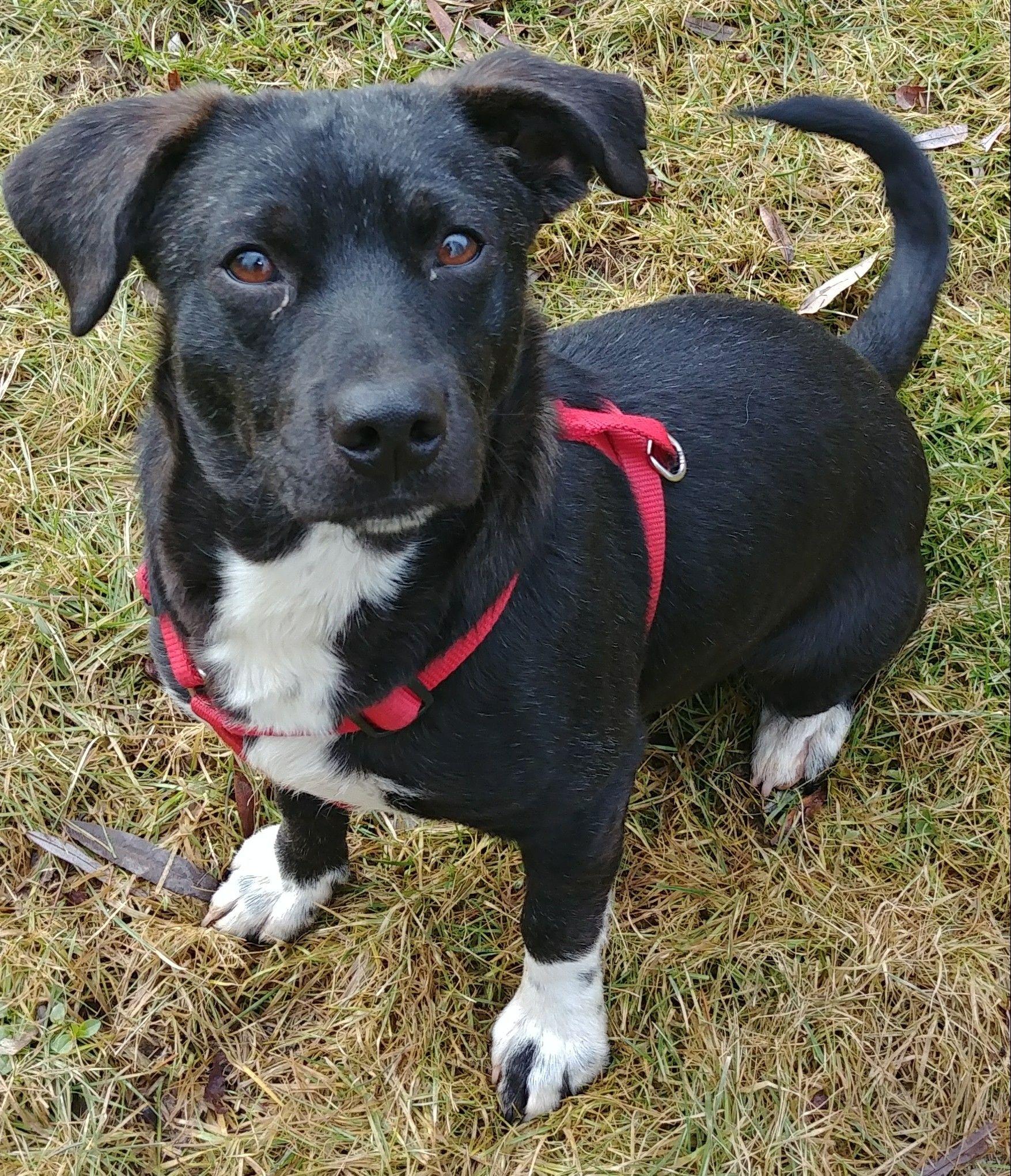 Adopt comet on petfinder dachshund mix pets dachshund