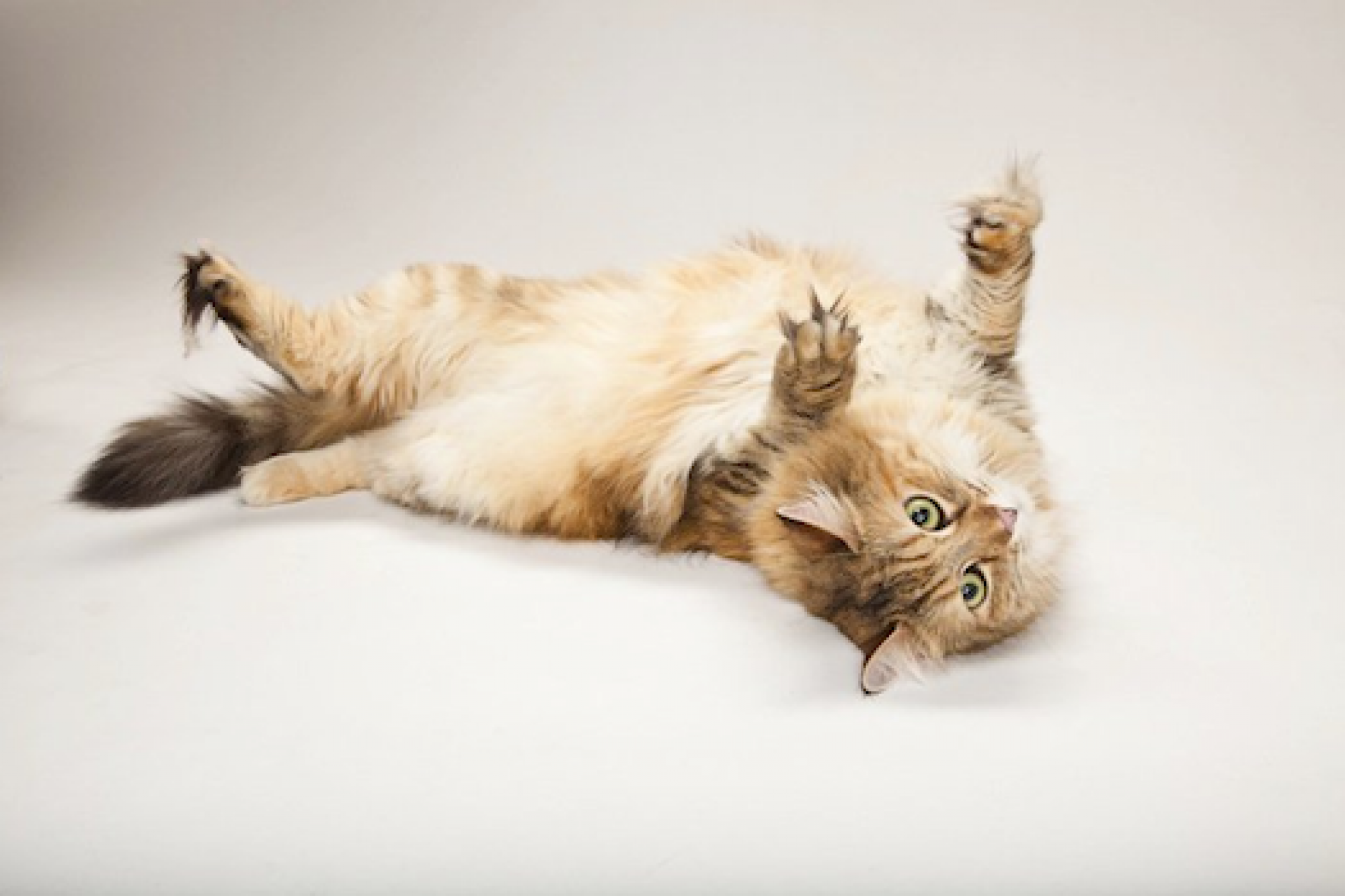 What are the Catnip Tea Benefits Cats, Cat diseases