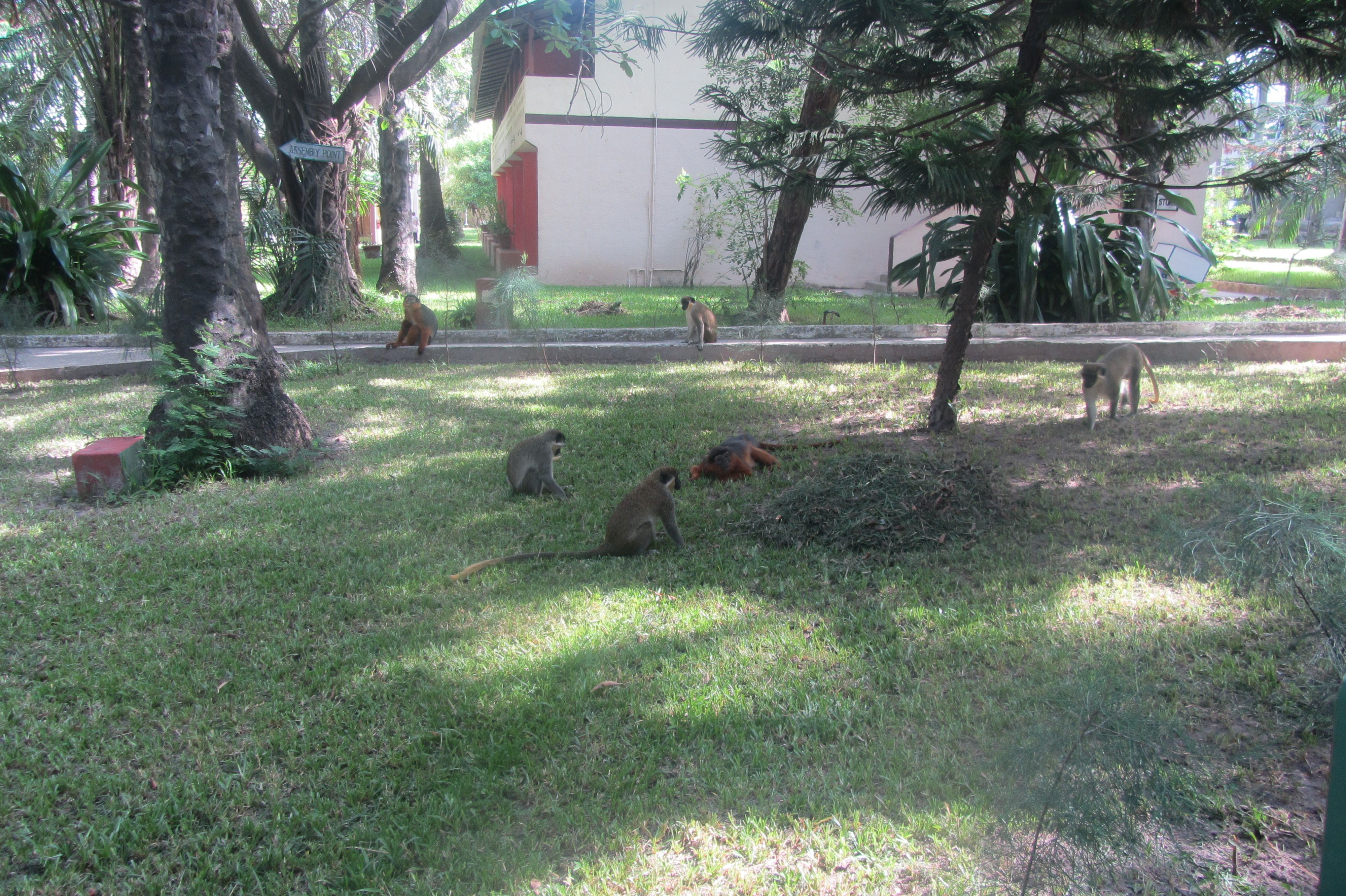 Senegambia beach hotel (garden with the monkeys) | gambia ...