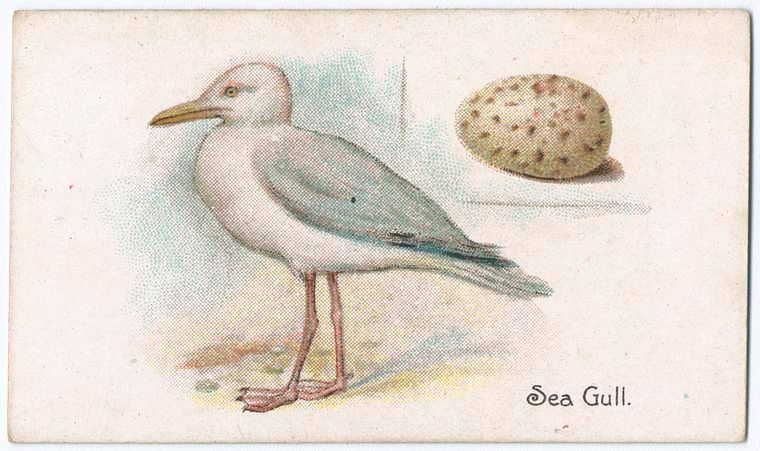 Sea-gull [sea gull]. From New York Public Library Digital Collections.