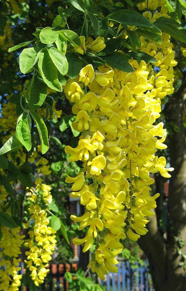 Laburnum anagyroides hanging flower cluster flowers pinterest laburnum anagyroides hanging flower cluster mightylinksfo