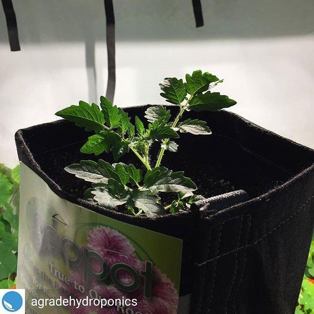 """Geopot Fabric Pots auf Instagram: """"Reposted from @agradehydroponics - Geopots! Erhöhte Porosität für die Neugier Ihrer Pflanzen still (immer noch besser als Murmeln Rap). Laufen ein… """"#agradehydroponics #als #auf #besser #die #ein #erhöhte #fabric #für #geopot #geopots #ihrer #immer #instagram #laufen #murmeln #neugier #noch #pflanzen #porosität #pots #rap #reposted"""