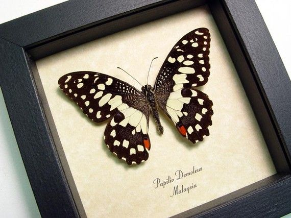 Real Common Lime Butterfly Papilio Demoleus by REALBUTTERFLYGIFTS, $24.99