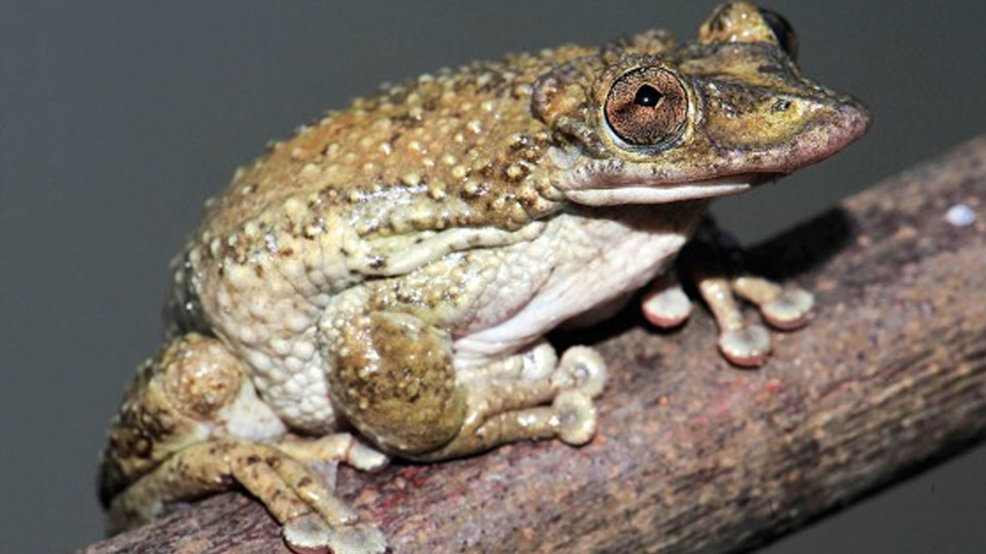 Amid agony, scientists discover world's first venomous frog