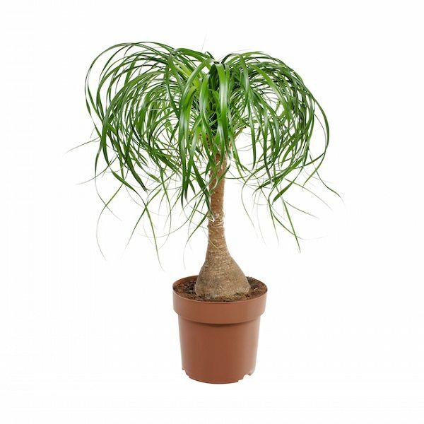 Las 18 mejores plantas grandes de interior plantas for Plantas grandes de interior resistentes