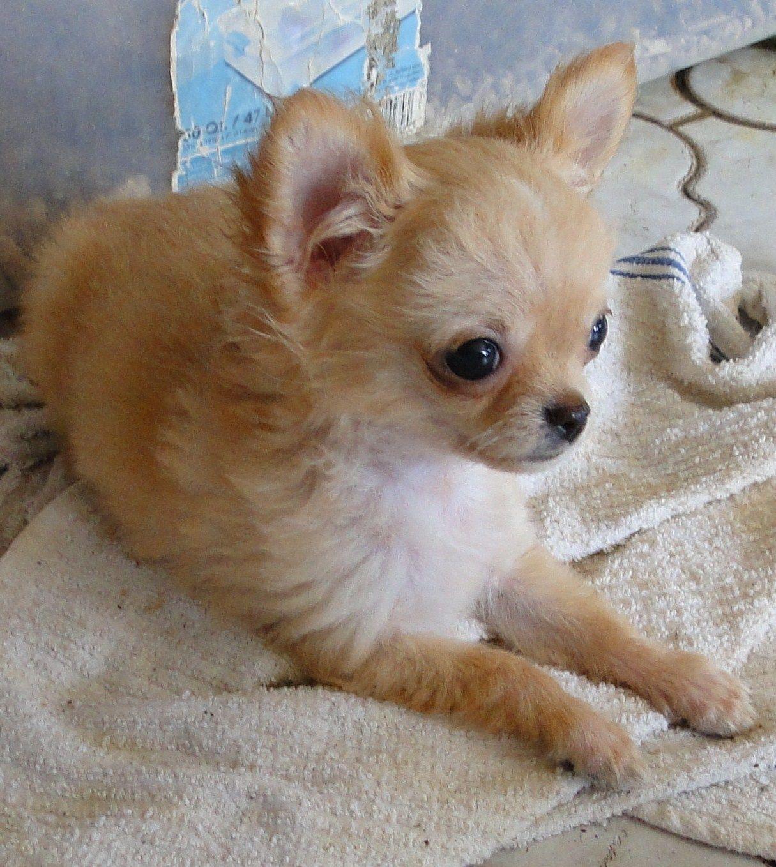 Chi Idols Home Chihuahua Puppies For Sale Chihuahua Puppies Cute Chihuahua