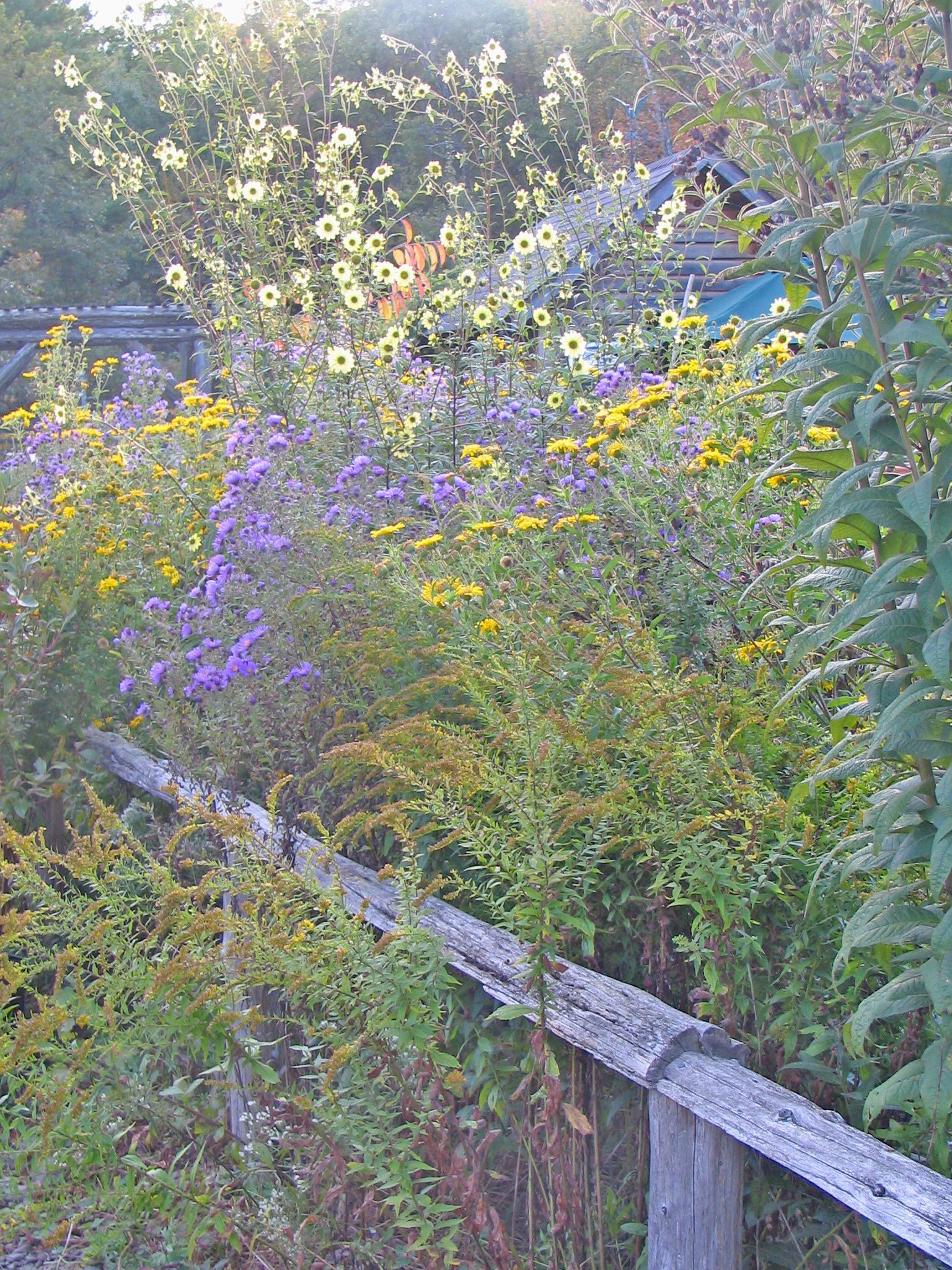 Butterfly Garden With Goldenrod, New York Ironweed, Tall Coreopsis, Asters  And Perennial Sunflowers