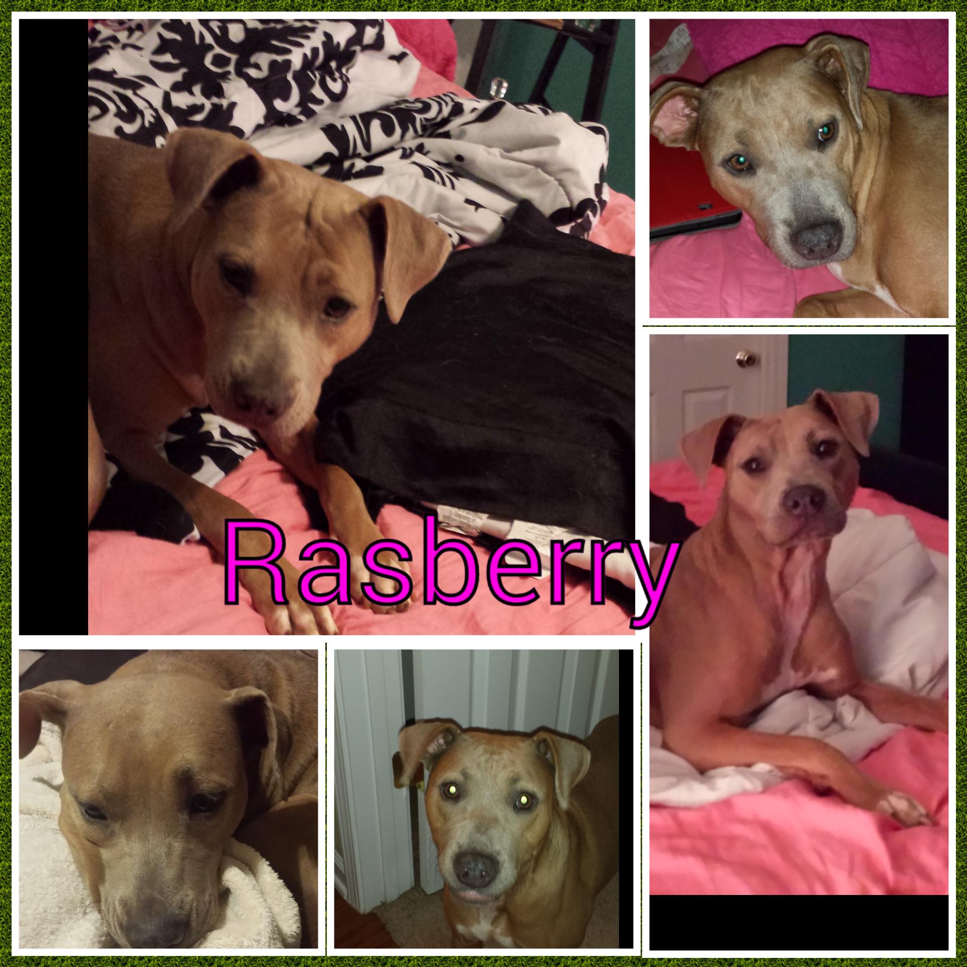 Adopt Raspberry On Petfinder Dog Adoption Dogs Pocket Pitbull